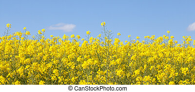 Panoramic banner of bright yellow rapeseed flowers closeup...