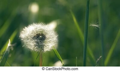 close up dandelion seed with slow motion video - spring...