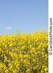 Bright yellow rapeseed, rape, canola, colza, oilseed, or...