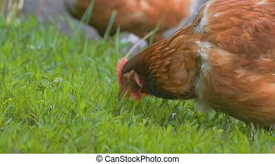 closeup chicken eats grass slow-motion video - closeup red...