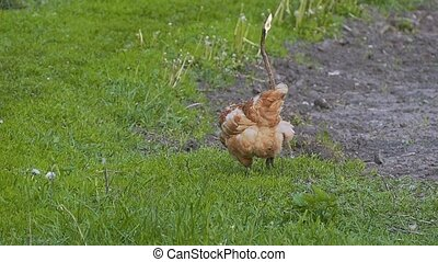 hen pecks grass slow motion video - Meadow grass hen pecks...