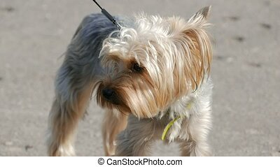 small dog terrier on a leash slow motion video - small dog...