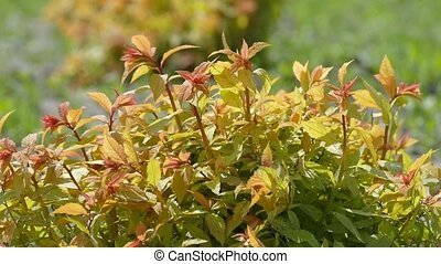plant with red leaves swaying slow motion video - sunny day...