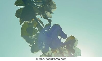 blooming apple tree branch against the sky slow motion video...