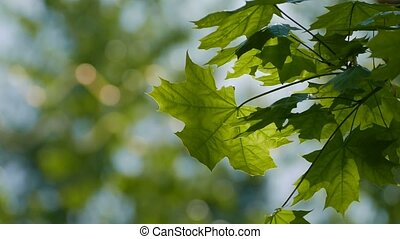 maple leaf slowly swinging motion video - green maple leaf...