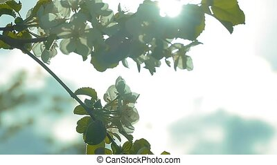 through the branches of apple blossom rays slow motion video...