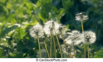 fluff with seeds dandelions flies with slow motion video -...
