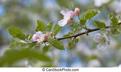 apple tree flowers on a branch with leaves slow motion video...