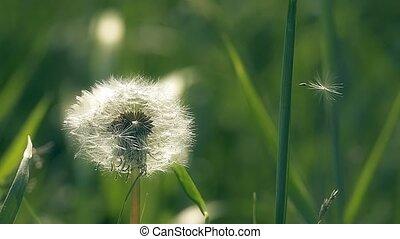 fluffy dandelion seeds slow motion video - spring dandelions...
