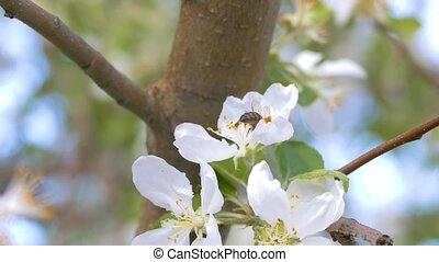 He is sitting on a flower apple the bee slow motion video -...