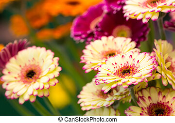 Beautiful marguerites - Bright yellow marguerites close up