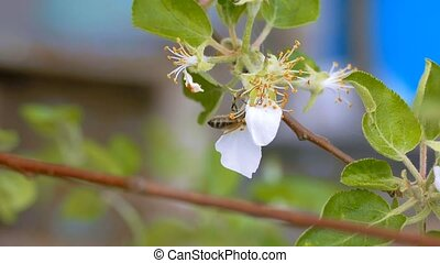 a flower apple bee crawls slow motion video - spring day...