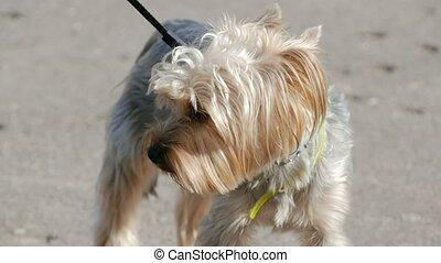 little fluffy dog terrier slow motion video - little fluffy...