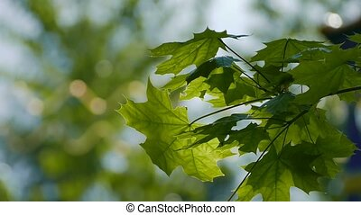 Maple leaf on a background of sky slow motion video - green...
