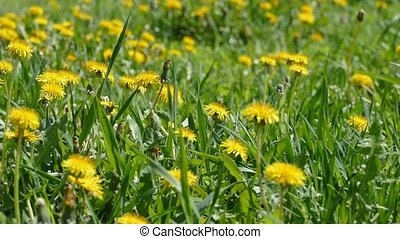 dandelions in the sun slow motion video - yellow dandelions...