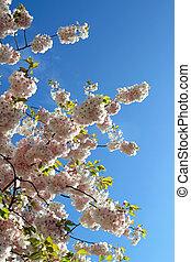 Spring tree blossom against a blue sky.