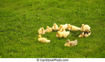 footage little ducklings walking outdoors on green grass Hd...