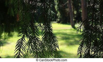 Park glade view through fir branch