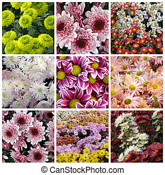 collage of chrysanthemums from nine photos - Beautiful...