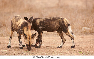 Couple of African Wild Dogs Lycaon pictus, highly endangered...