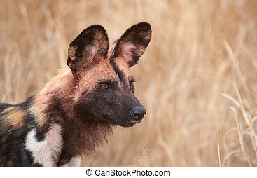 African Wild Dog Lycaon pictus, highly endangered species of...