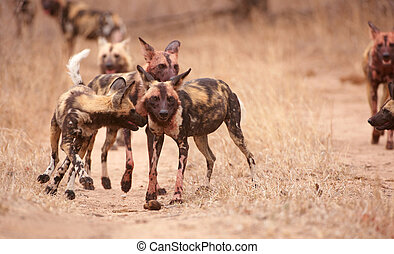 Pack of African Wild Dogs (Lycaon pictus) - Pack of African...