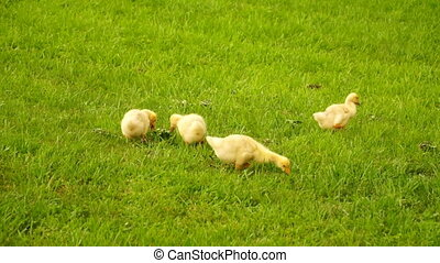 footage little ducklings walking outdoors on green grass. Hd...
