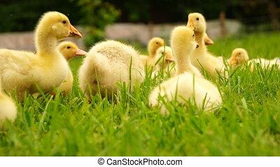 footage little ducklings walking outdoors on green grass. Hd...