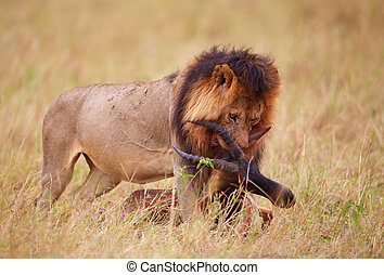 Single Lion (panthera leo) with a kill in savannah - Single...