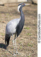 Demoiselle Crane - Bird Demoiselle Crane Anthropoides virgo...