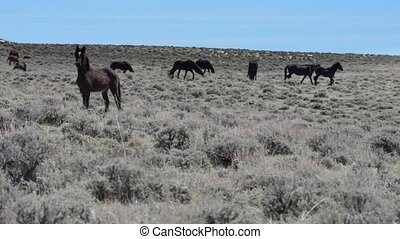 Wild Mustangs Horse Wyoming - Wild Mustangs Horses against...