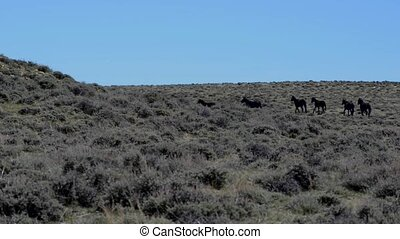 Wild Mustangs Horse Wyoming running behind the hill - Wild...