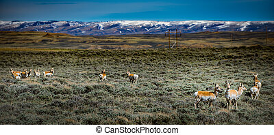 Prong Horn Antelope Wyoming USA - Band of Prong Horn...