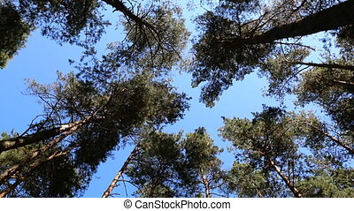 Pine tree tops blue sky - Looking up at swaying slowly pine...