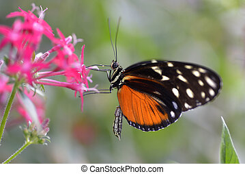 Tiger Longwing butterfly on flower - Tiger Longwing...