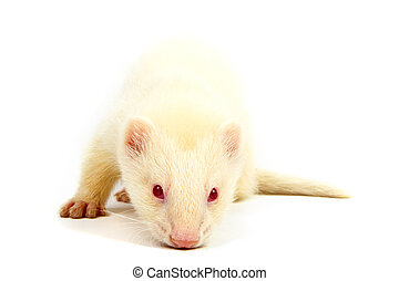 Albino ferret, lying on a white background