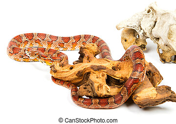 young boa constrictor on a white background. - snake.elaphe...