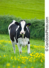 Holstein/Friesian cow in a buttercup field