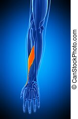the adductor pollicis longus - medically accurate...