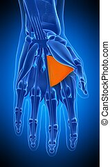 the adductor pollicis - medically accurate illustration of...