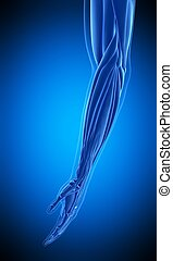 the human arm muscle - medically accurate illustration of...
