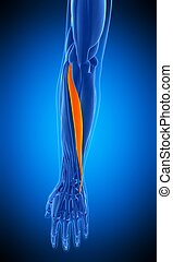 the extensor carpi ulnaris - medically accurate illustration...