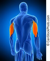 the triceps - medically accurate illustration of the triceps