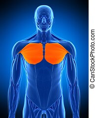 the pectoralis major - medically accurate illustration of...