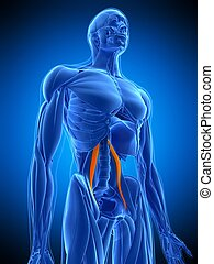 the psoas minor - medically accurate illustration of the...