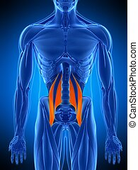 the psoas major - medically accurate illustration of the...