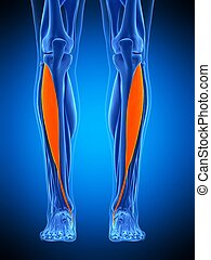 the tibialis anterior - medically accurate illustration of...