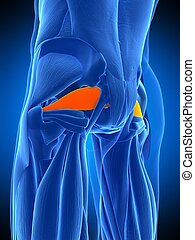 the piriformis - medically accurate illustration of the...