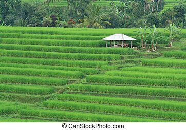 Paddy Field Terraces at Bali