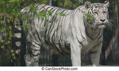 Gorgeous white tigress walking on the open-air cage.